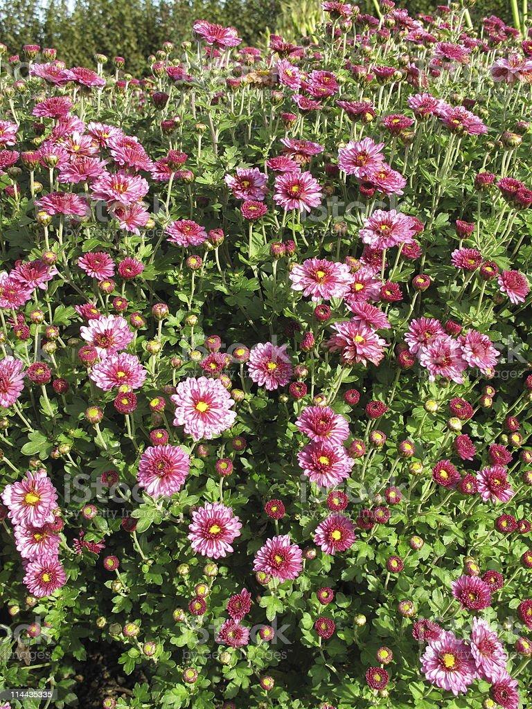 Chrysanthemum x grandiflorum - Garten Chrysantheme stock photo