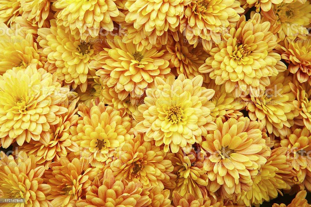 Chrysanthemums background stock photo
