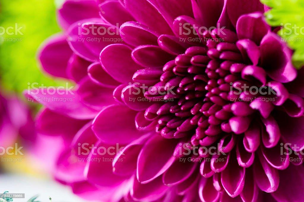 Chrysanthemums flower. royalty-free stock photo