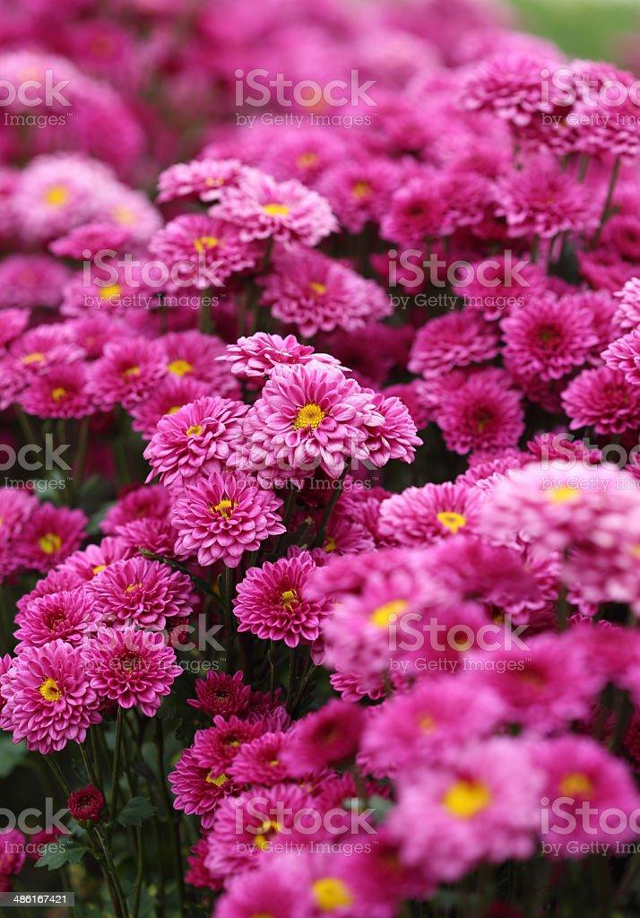 chrysanthemums flowers stock photo