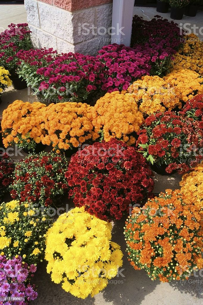 Chrysanthemums for sale stock photo
