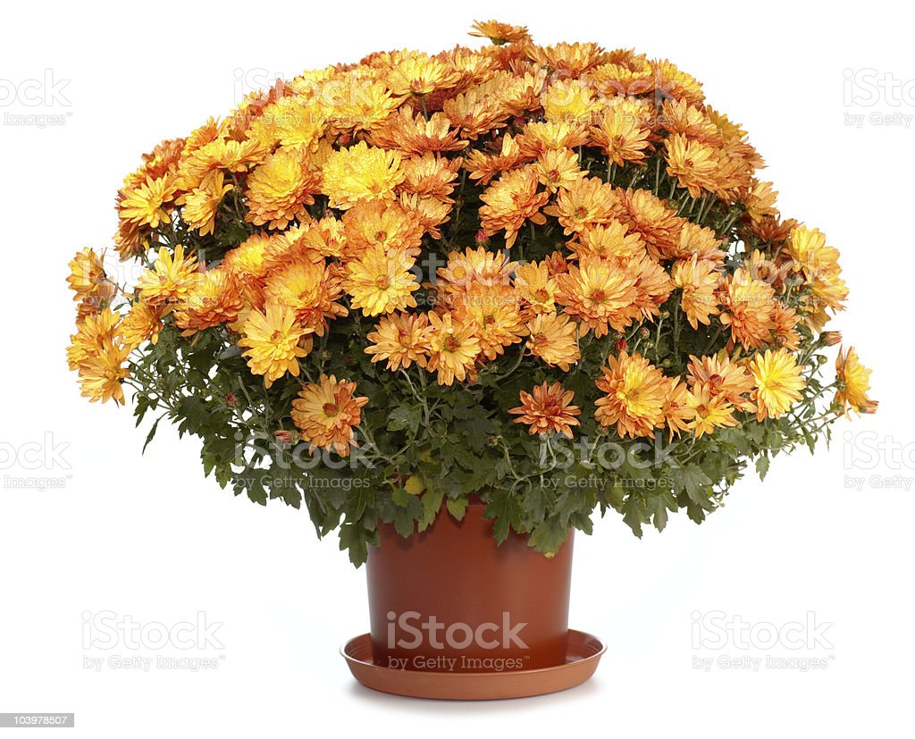 Chrysanthemums in flowerpot stock photo