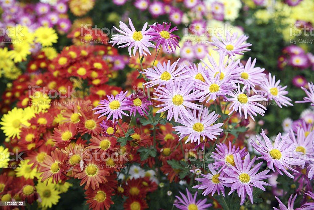 Chrysanthemums In Garden stock photo