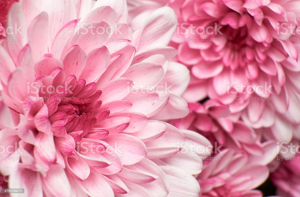 Chrysanthemums In Pink stock photo