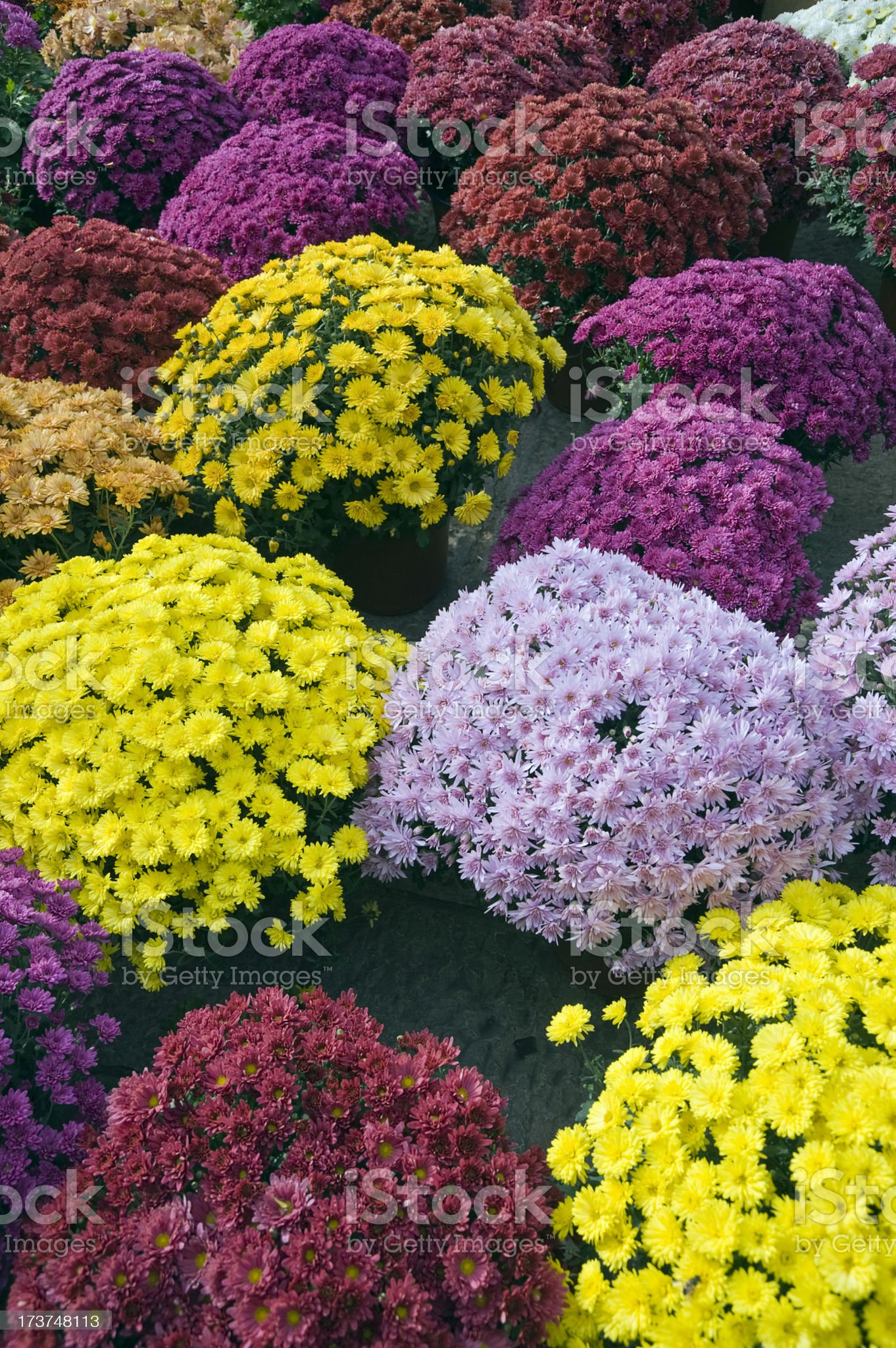 Chrysanthemums royalty-free stock photo