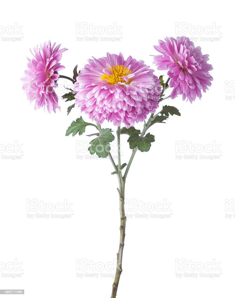 chrysanthemums stock photo