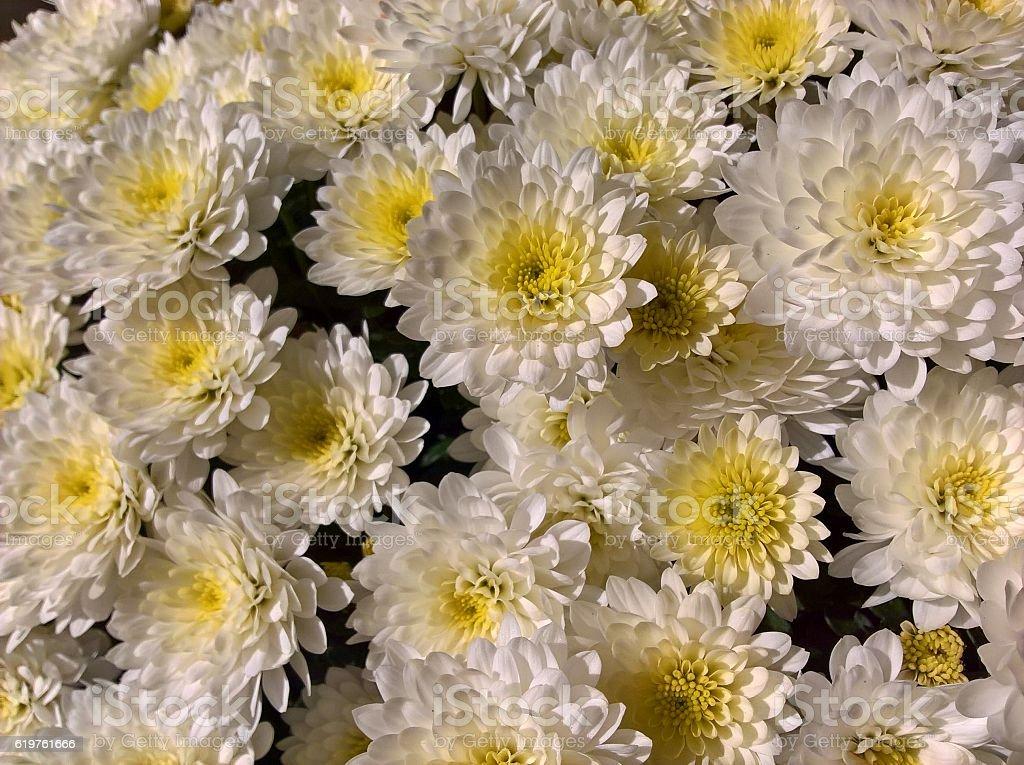 Chrysanthemums White Yellow stock photo