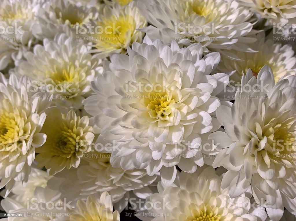 Chrysanths (Mum Flowers) White stock photo