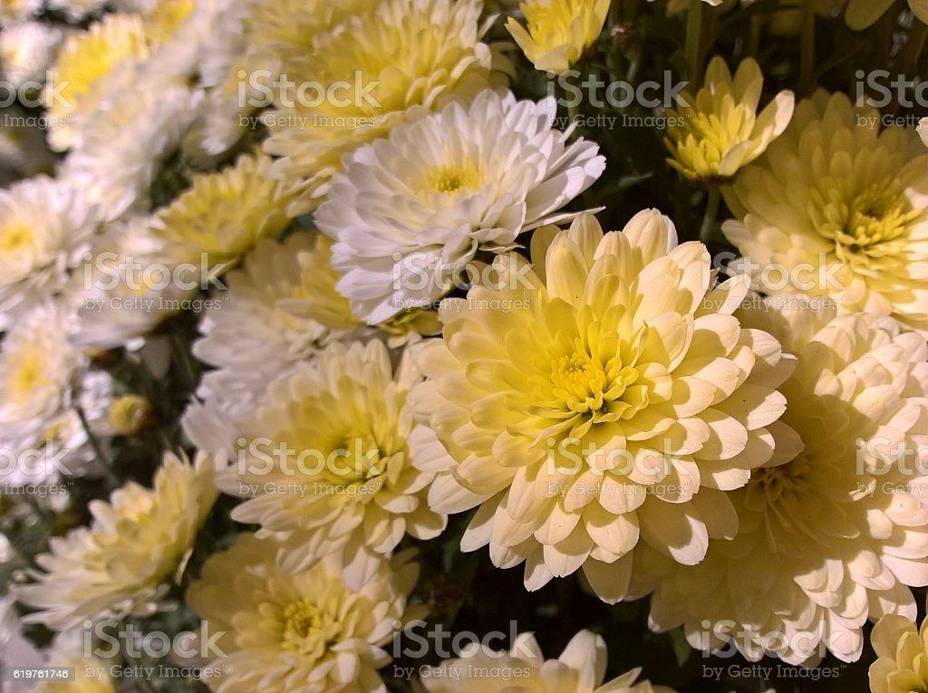 Chrysanths White Yellow stock photo