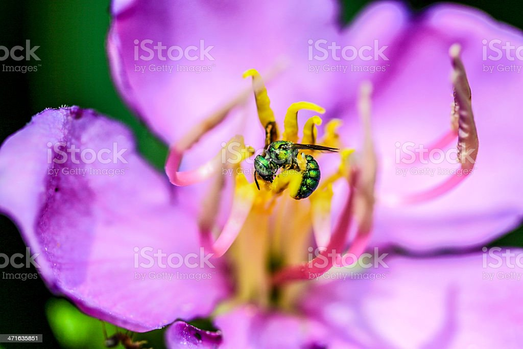 Chrysididae Metallic Green Bee in Indian Rhododendron royalty-free stock photo