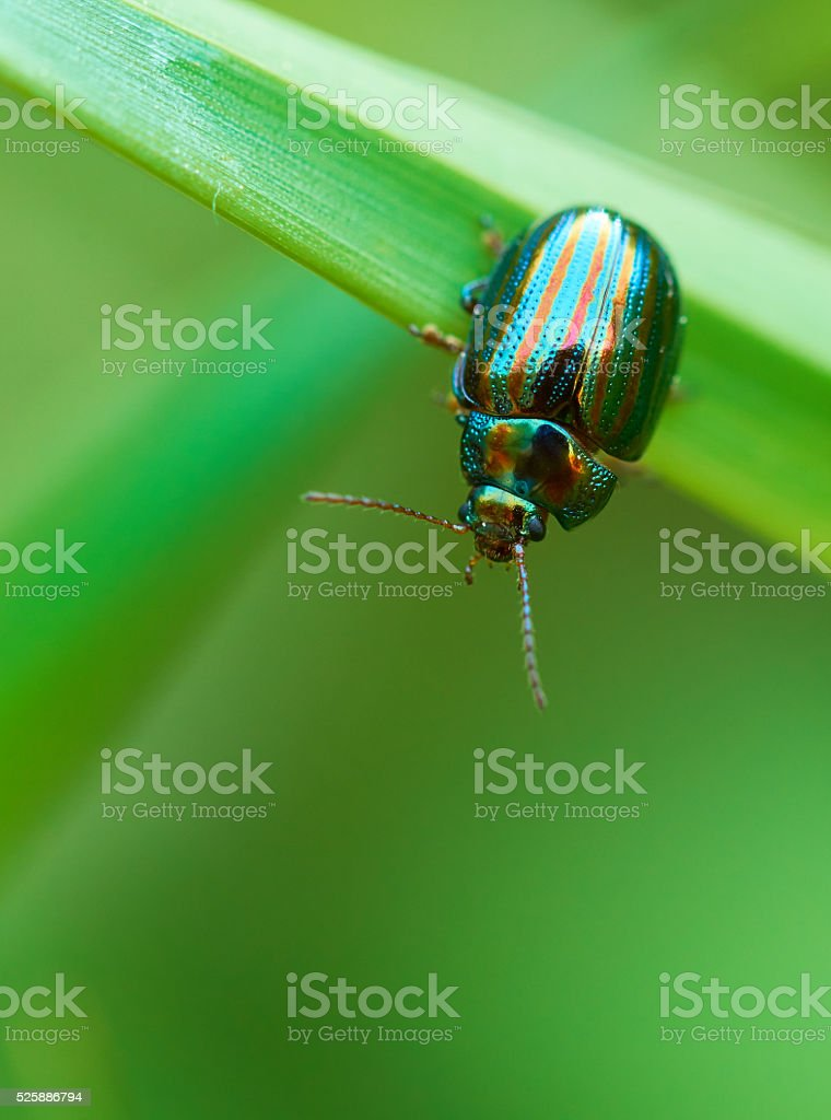 Chrysolina americana stock photo
