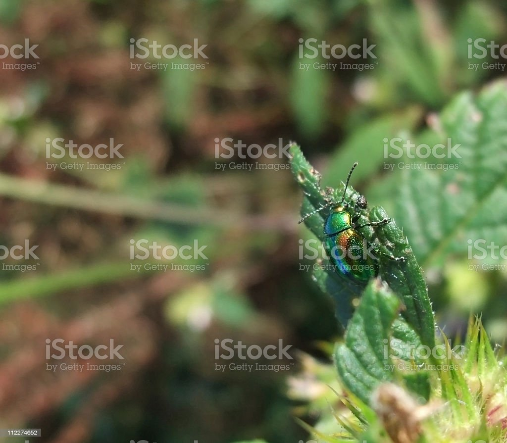 Chrysolina fastuosa in natural back stock photo