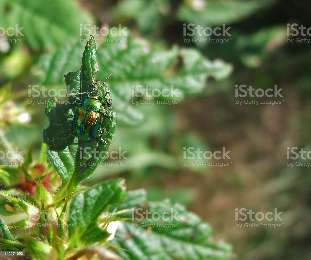 Chrysolina fastuosa in sunny ambiance stock photo
