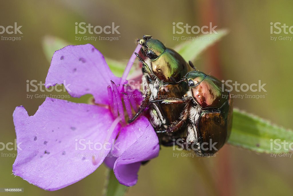 chrysomelid beetle royalty-free stock photo
