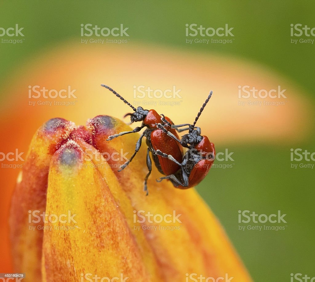 Chrysomelidae beetles stock photo