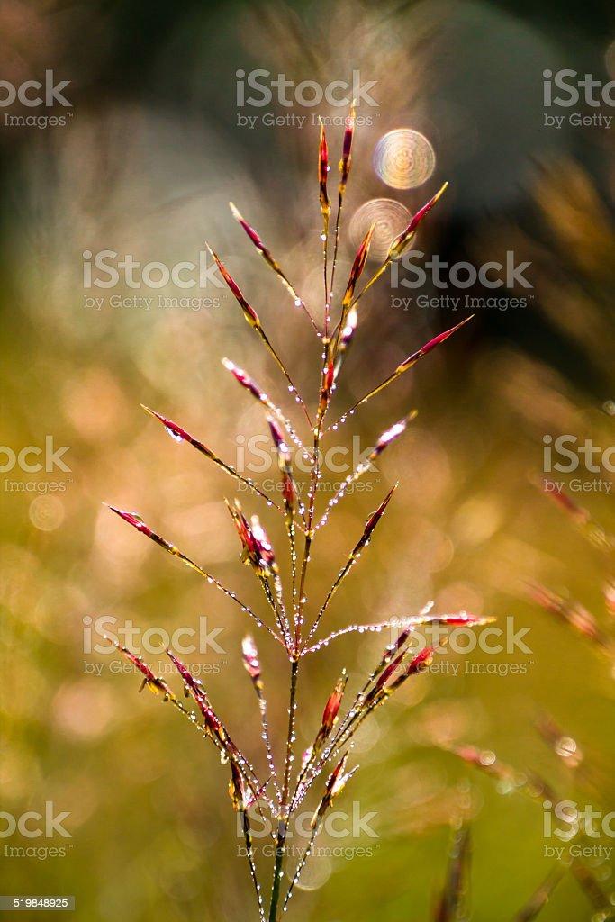 Chrysopogon aciculatus's flower stock photo
