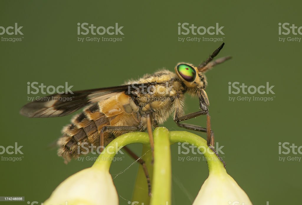 Chrysops royalty-free stock photo