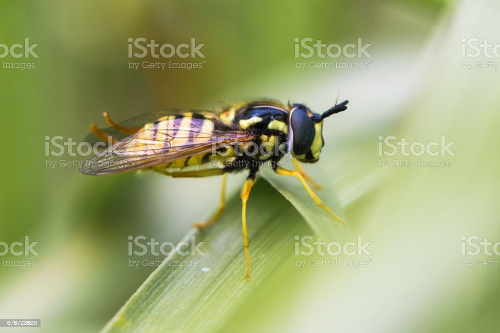 Chrysotoxum cautum hoverfly in profile stock photo