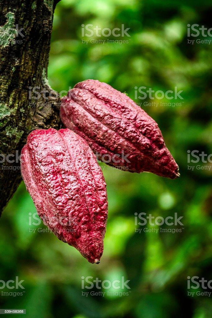 Chuao cocoa fruits hanging on tree. stock photo