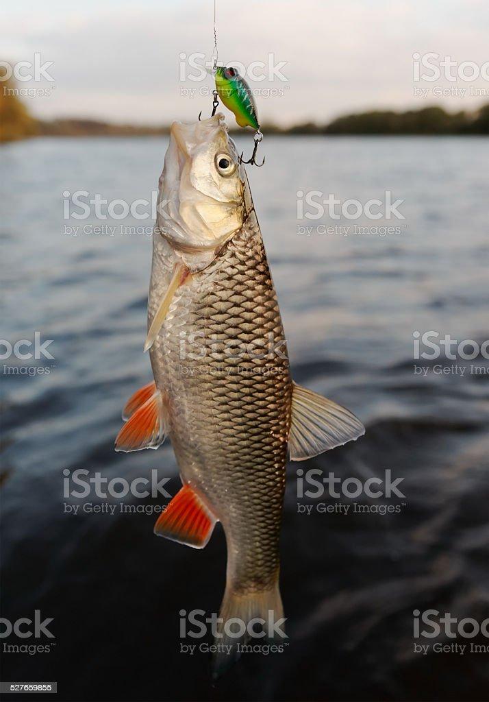 Chub caught on a plastic bait stock photo