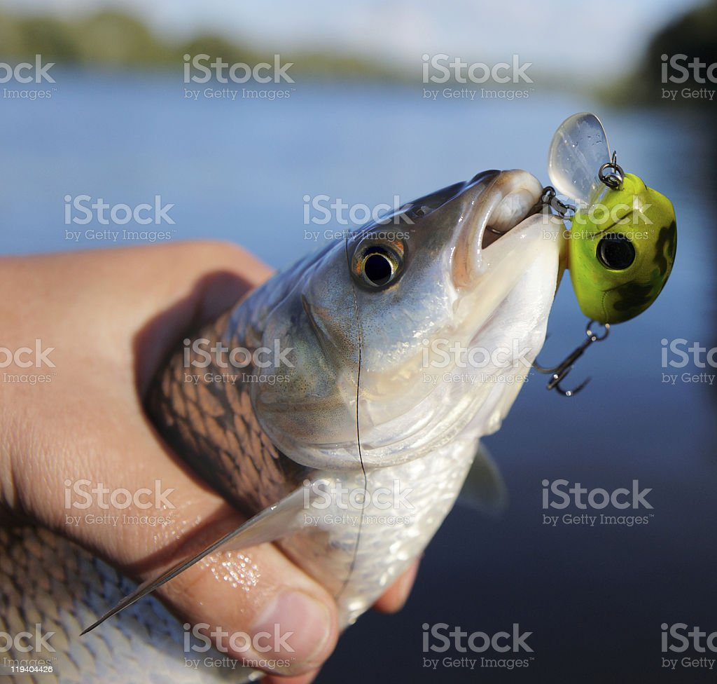 Chub caught on spinning bait royalty-free stock photo
