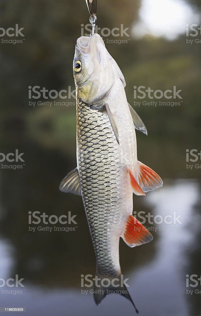 Chub hanging on hook royalty-free stock photo