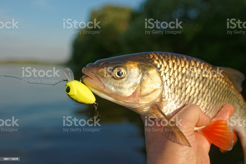 Chub in fisherman's hand stock photo