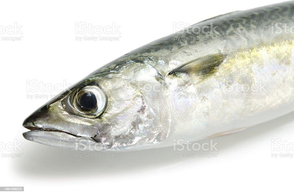 Chub Mackerel-Scomber japonicus stock photo