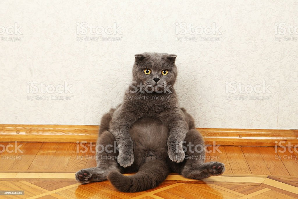 A chubby beautiful dark grey cat on a wooden floor stock photo