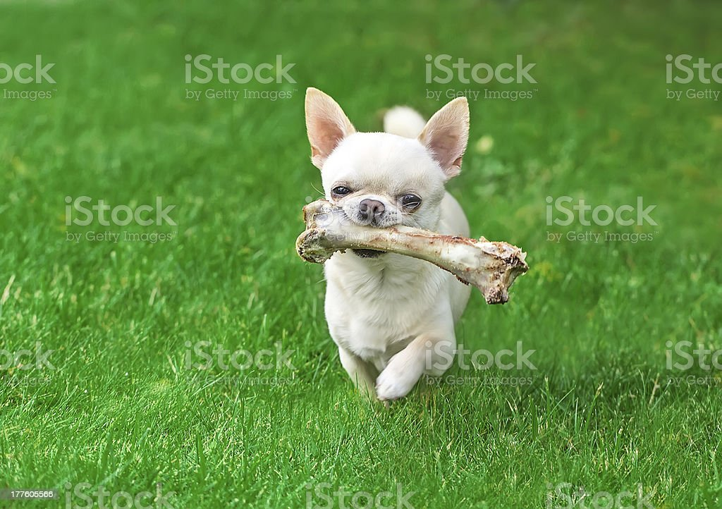 chuhuahua and bone on a summer day stock photo