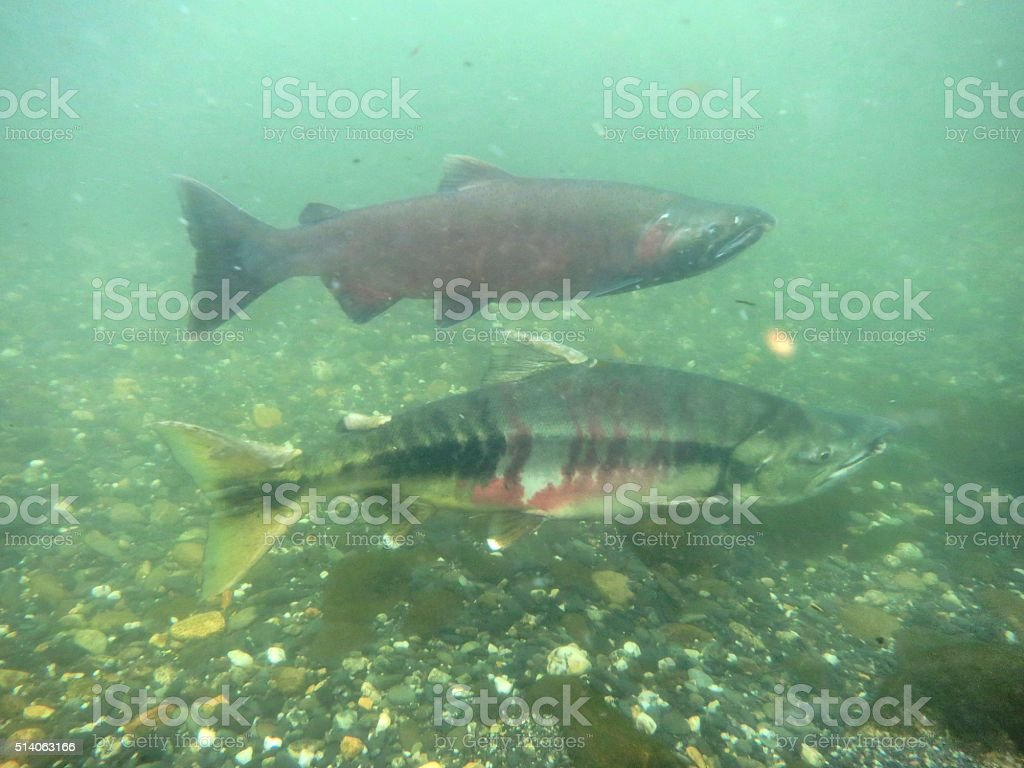 Chum and Silver Salmon stock photo