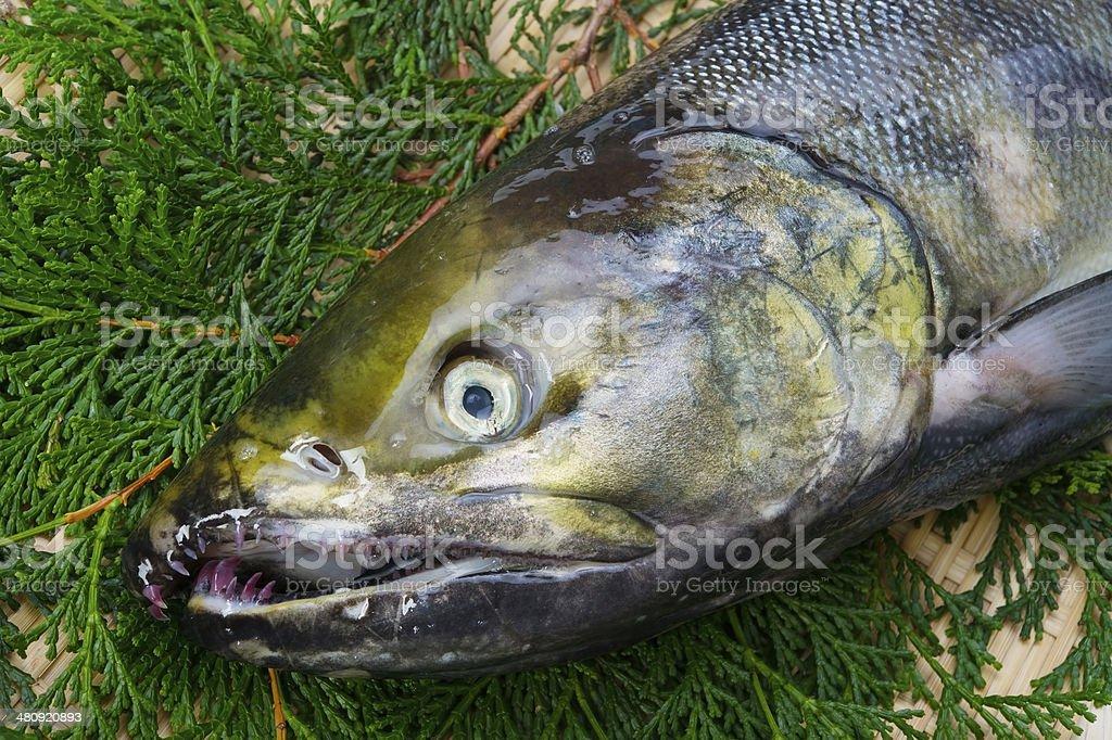 Chum Salmon royalty-free stock photo