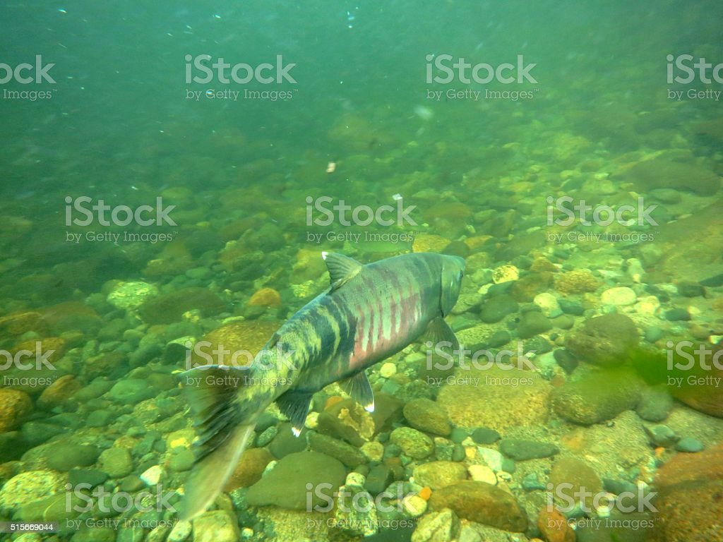 Chum Salmon stock photo