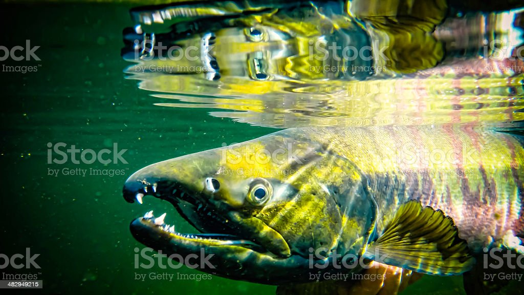 Chum Salmon Underwater stock photo