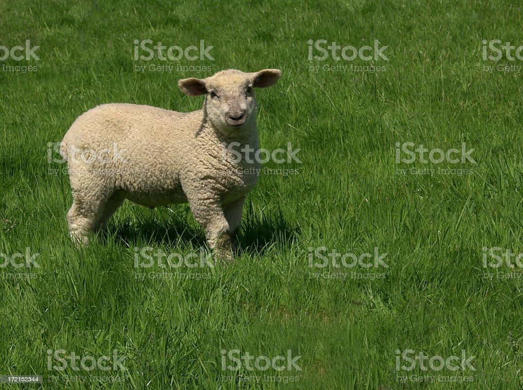 Chunky lamb royalty-free stock photo