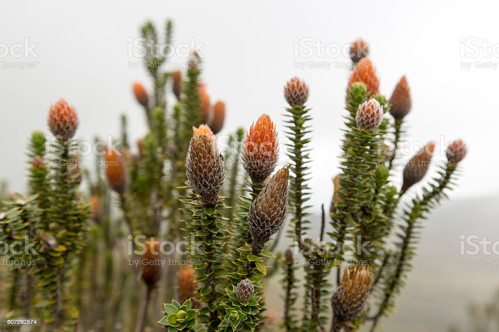 Chuquiragua. Plant. National Park Cayambe-Coca Ecuador stock photo