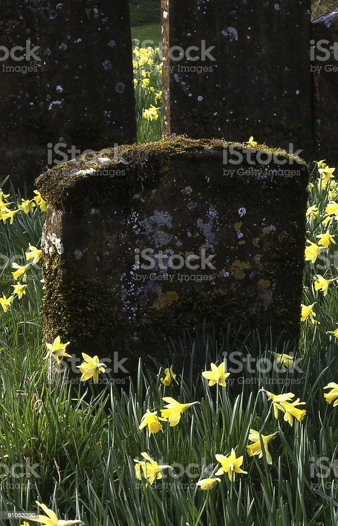 Churchyard with daffodils around gravestones royalty-free stock photo