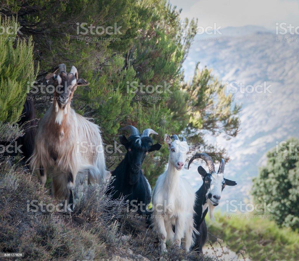 chèvres Corse stock photo