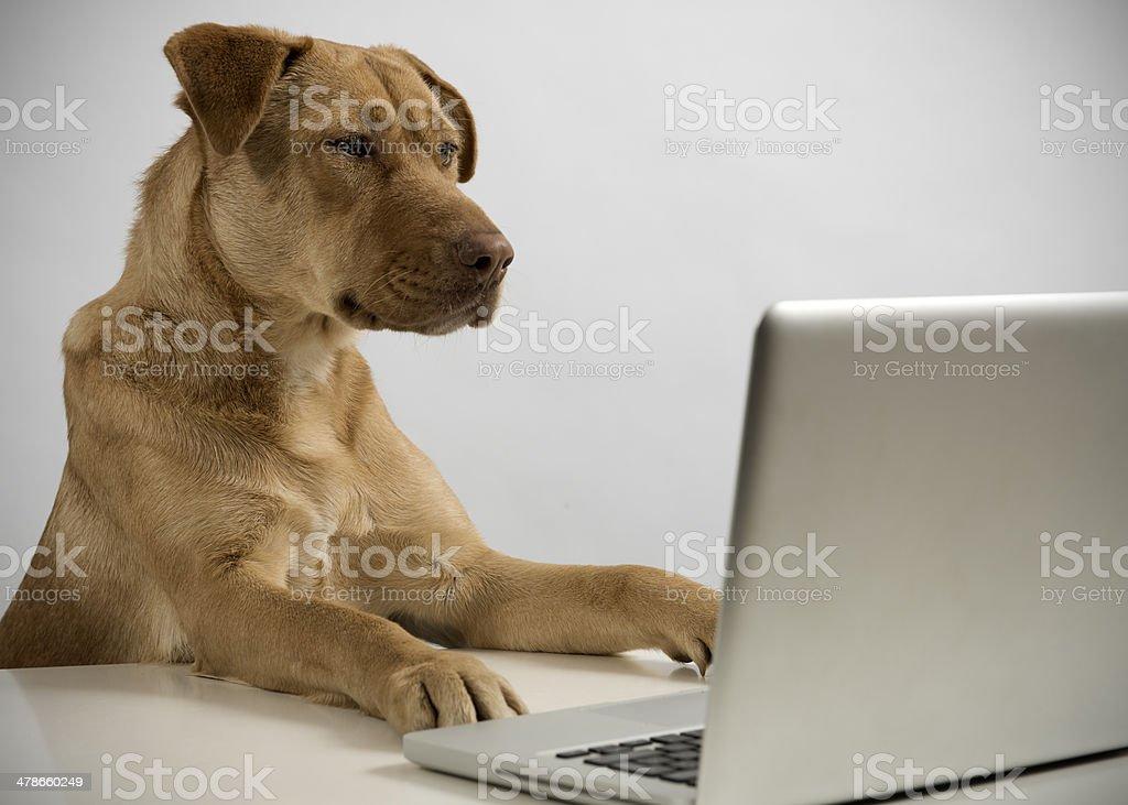 Ciber dog stock photo