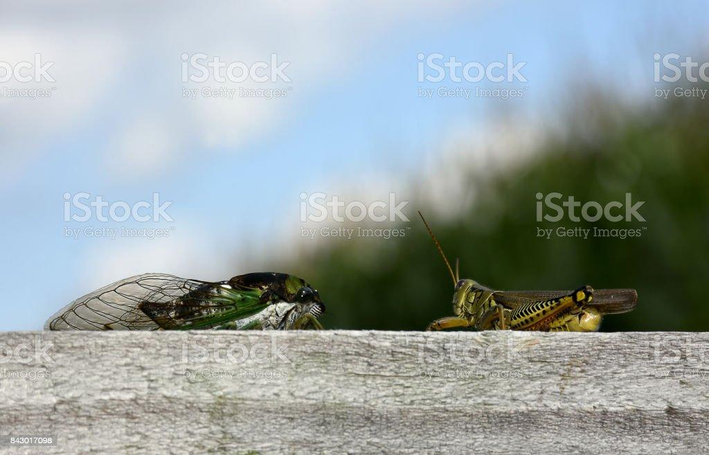 Cicada and Grasshopper stock photo