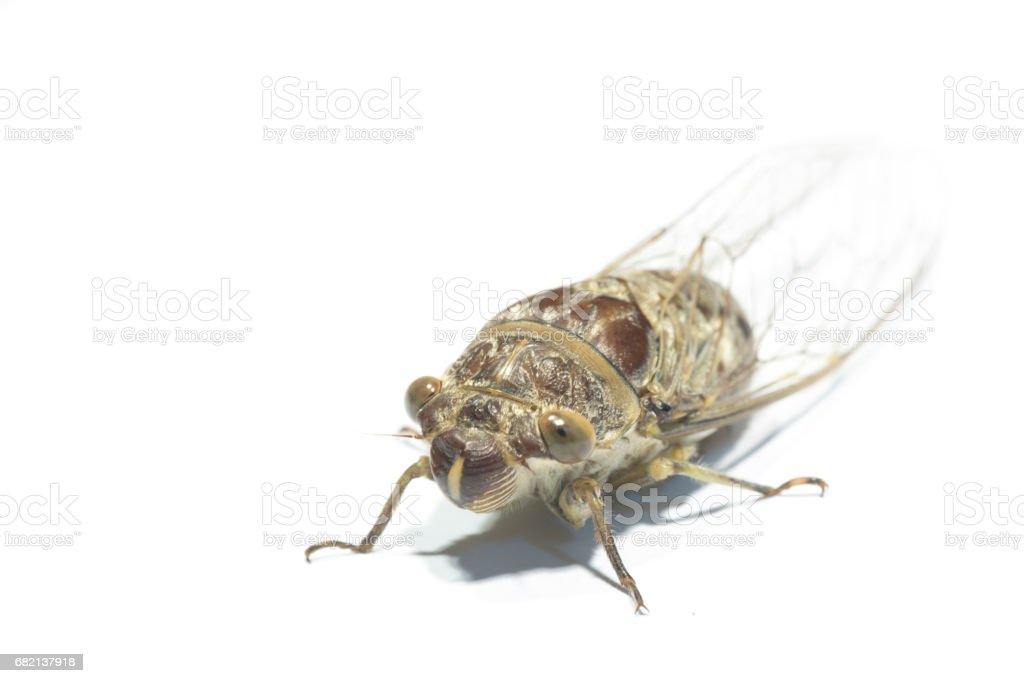 cicada Cicadidae isolated on white background stock photo