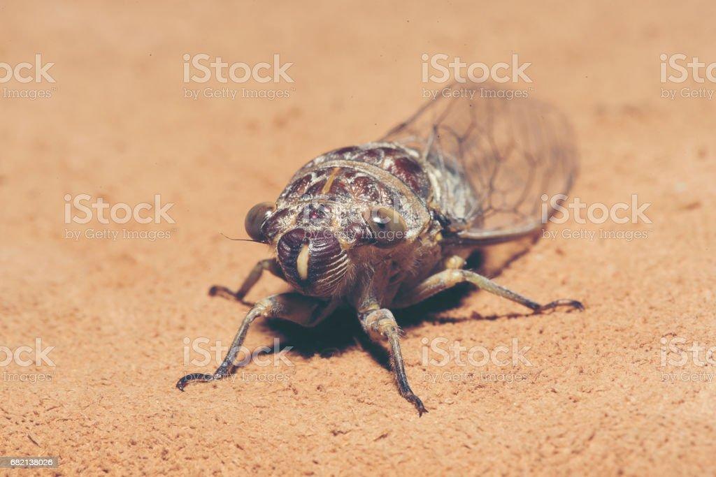Cicada Cicadidae set on background stock photo