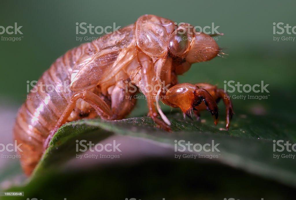 Cicada empty shell macro royalty-free stock photo