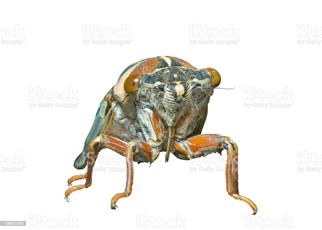 Cicada en face royalty-free stock photo