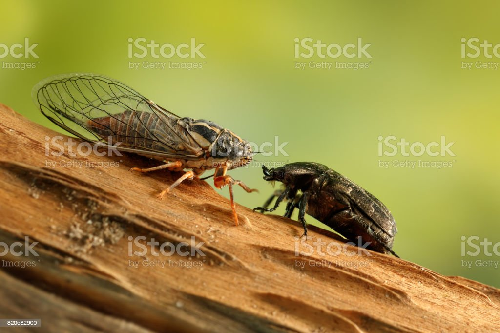 Cicada Euryphara and Rose chafer (cetonia aurata) on a twig looks at each other on a background of green foliage. stock photo
