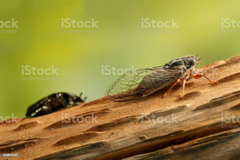 Cicada Euryphara, known as european Cicada, crawling on the trunk of a tree. stock photo