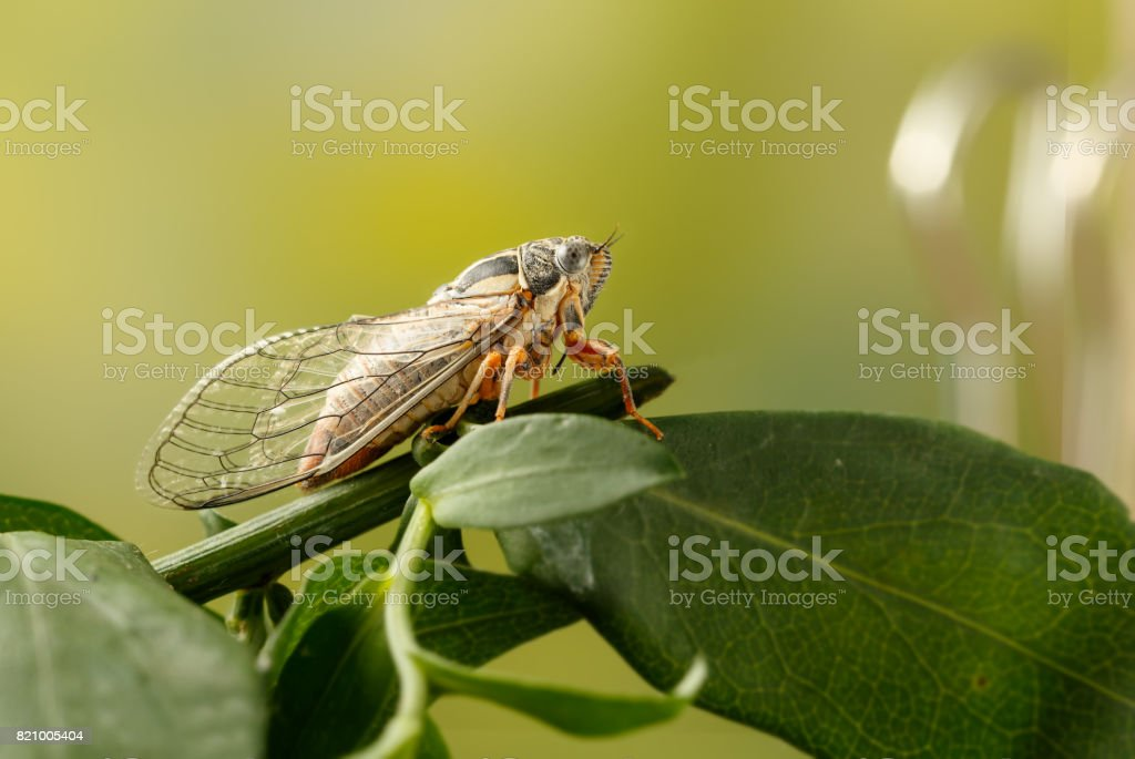 Cicada Euryphara,  known as european Cicada, sitting on a twig with a green background. Insect sings beautifully and prefers a warm climate stock photo