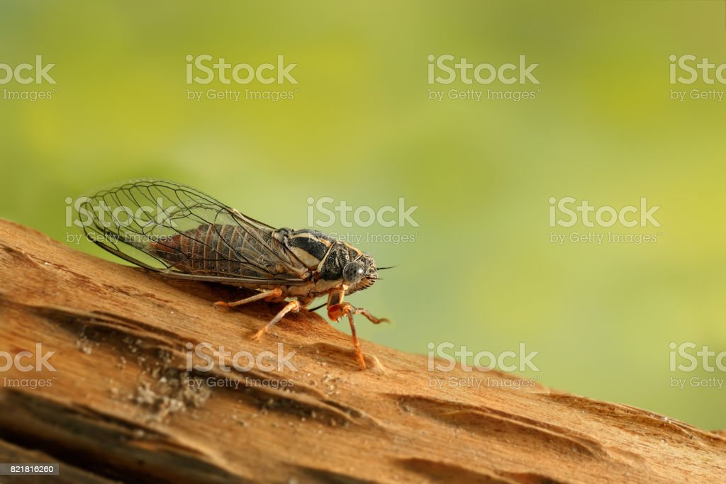 Cicada Euryphara,  known as european Cicada, sitting on a twig with a green background.Garden's pest. stock photo