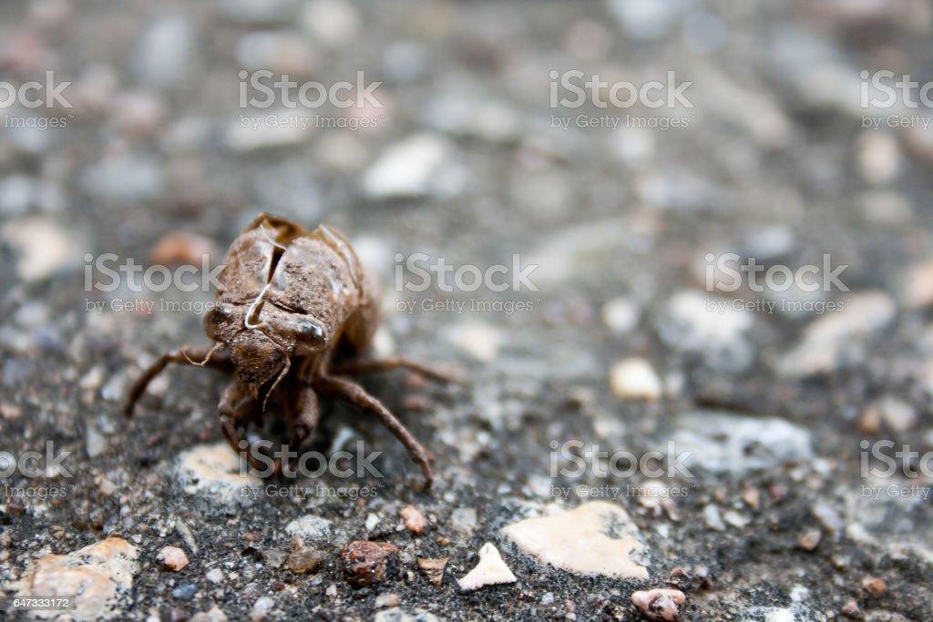 Cicada Exoskeleton on Ground stock photo