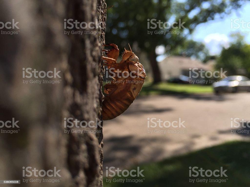 Cicada Exoskeleton on Tree with Street Background stock photo